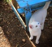 Gato com Heterochromia Fotos de Stock