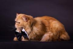 Gato com laço Foto de Stock