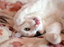 Gato com lingüeta Fotografia de Stock Royalty Free