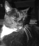 Gato com lingüeta para fora imagens de stock