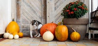 Gato com o pé amputado que está pela porta da rua decorada com abóboras Front Porch decorou para a ação de graças fotografia de stock