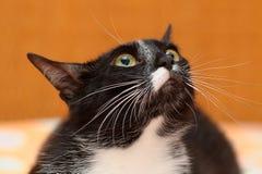 Gato com olhar louco imagens de stock royalty free