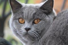 Gato com olhos alaranjados, shorthair azul britânico Fotografia de Stock Royalty Free