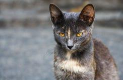 Gato com olhos amarelos Fotos de Stock Royalty Free