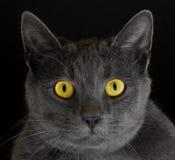 Gato com olhos amarelos Foto de Stock Royalty Free