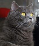 Gato com olhos ambarinos Fotografia de Stock Royalty Free