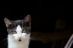 Gato com olhos bonitos Fotografia de Stock Royalty Free