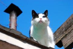 Gato com olhos diferentes Imagem de Stock Royalty Free