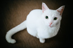 Gato com olhos verdes Imagens de Stock