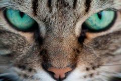 Gato com olhos verdes Imagem de Stock Royalty Free