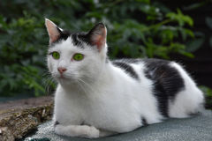Gato com olhos verdes Imagem de Stock