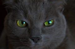 Gato com olhos verdes Fotografia de Stock
