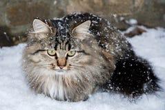 Gato com os olhos amarelos grandes no inverno fotografia de stock royalty free