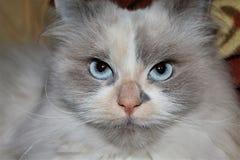 Gato com os olhos de um homem foto de stock royalty free