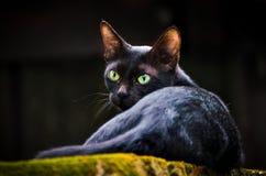 Gato com os olhos verdes afiados Foto de Stock Royalty Free