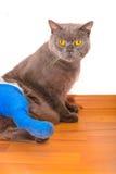 Gato com pé quebrado Fotografia de Stock Royalty Free