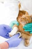 Gato com pé quebrado Imagens de Stock