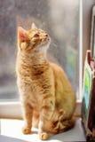 Gato com pele vermelha Imagens de Stock Royalty Free