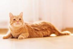 Gato com pele vermelha Fotos de Stock