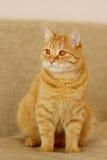 Gato com pele vermelha Fotografia de Stock