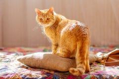 Gato com pele vermelha Fotografia de Stock Royalty Free