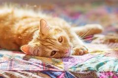 Gato com pele vermelha Imagens de Stock