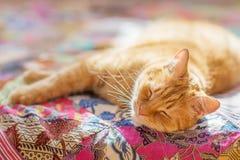 Gato com pele vermelha Foto de Stock Royalty Free