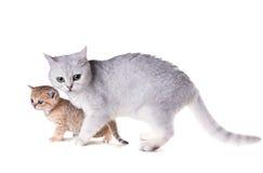 Gato com um gatinho Shorthair britânico Isolado no backgro branco Fotografia de Stock Royalty Free