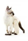 Gato com um pé quebrado em um fundo branco imagens de stock royalty free