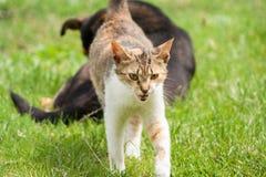 gato com uma boca aberta e um cão preto no fundo Vista engraçada O gato defende o cão fotografia de stock royalty free