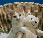 Gato com urso de peluche Fotos de Stock Royalty Free