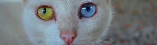 Gato con diverso color de los ojos Gato eyed impar fotos de archivo libres de regalías