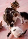Gato con dos gatitos Fotografía de archivo libre de regalías
