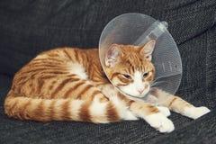 Gato con el cono después de la cirugía Foto de archivo