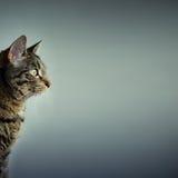 Gato con el espacio de la copia Foto de archivo libre de regalías