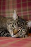 Gato con el fondo 1 de la tela escocesa Fotografía de archivo libre de regalías