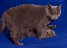 Gato con el gatito Imagen de archivo libre de regalías