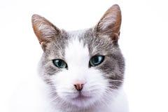 Gato con el papel pintado de los ojos azules Gato nacional con color del ojo azul Foto de archivo