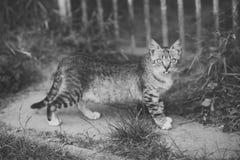 Gato con el paseo gris de la piel en la trayectoria del jardín fotografía de archivo