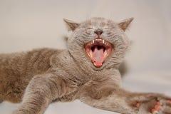 Gato con la boca abierta Fotografía de archivo libre de regalías