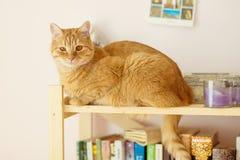 Gato con la piel roja Imagen de archivo libre de regalías