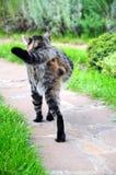 Gato con la pierna que falta Imagen de archivo libre de regalías