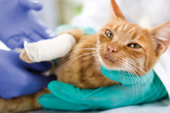 Gato con la pierna quebrada Imagen de archivo libre de regalías
