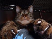 Gato con las garras 1 Fotografía de archivo