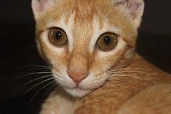 Gato con los ojos abiertos del jengibre Fotos de archivo libres de regalías