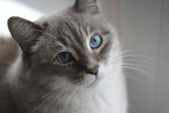 Gato con los ojos azules Imágenes de archivo libres de regalías