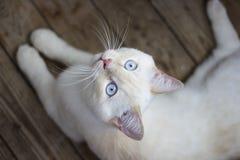 Gato con los ojos azules en el piso de madera Fotos de archivo libres de regalías