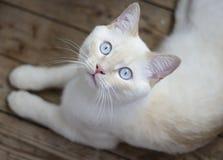 Gato con los ojos azules en el piso de madera Fotografía de archivo libre de regalías