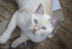 Gato con los ojos azules en el piso de madera Foto de archivo