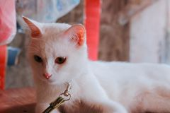 Gato con los ojos bicolores fotos de archivo libres de regalías